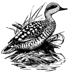 Bird Marbled duck