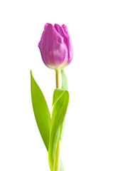 Single violet tulip