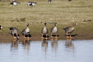 Fotoväggar - White-fronted goose, Anser albifrons,