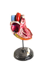 anatomical model of human heart closeup isolated