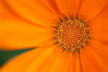Orange chrysanthemum flower closeup