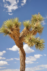 Joshua Tree against the sky