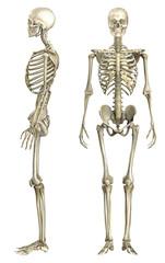 Anatomische Darstellung menschliches Skelett 1