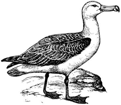 Bird Laysan Albatross
