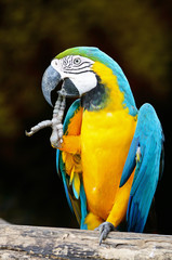 Poster Blue and Gold Macaw
