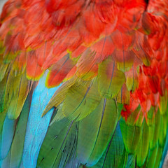 Wall Mural - Greenwinged Macaw feathers