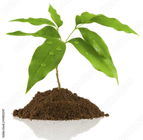 jeune arbre fruitier litchi photo libre de droits sur la banque d 39 images image. Black Bedroom Furniture Sets. Home Design Ideas