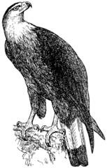Bird Pallas's Fish Eagle