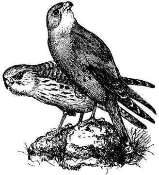 Bird Lesser Kestrel