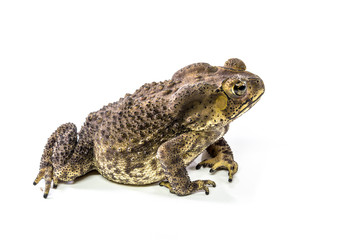 Toad on a white background.
