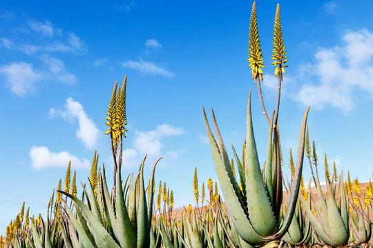 aloe vera plantation in the Canary Islands