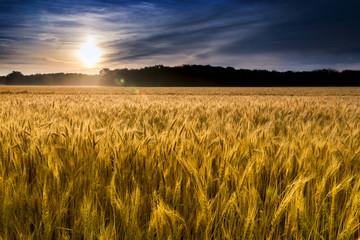 Misty Sunrise Over Golden Wheat Field in Central Kansas