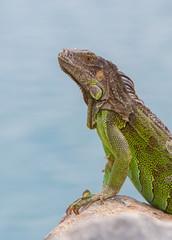 Green Iguana (Iguana iguana) sitting on rocks