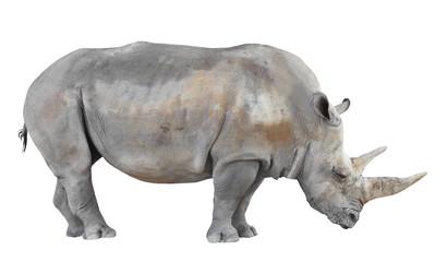 The Northern White Rhinoceros (Ceratotherium simum cottoni).