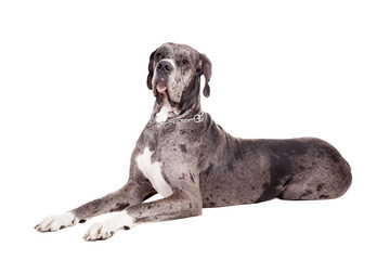 Blue Merle Great Dane sitting head shot isolated on white