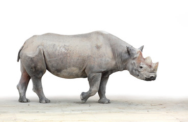 The Black Rhinoceros  (Diceros bicornis).