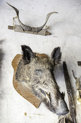 Boar head and horns