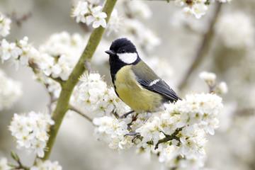 Fotoväggar - Great tit, Parus major, single bird on blossom