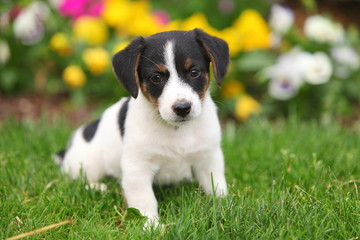 Jack Russel Puppy Sits in Grass