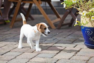 Parson Russell Terrier Welpe auf der Gartenterrasse