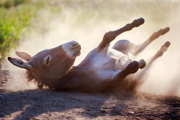 Grey donkey in dust