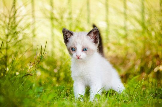 siamese kitten with blue eyes portrait outdoors