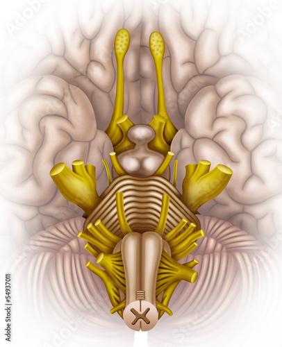 Tallo cerebral humano\