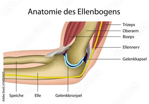 Anatomie des Ellenbogens\