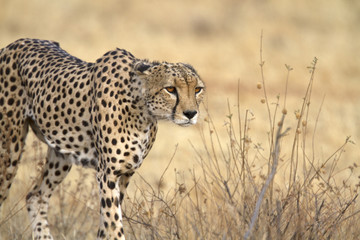 Portrait of wild cheetah walking