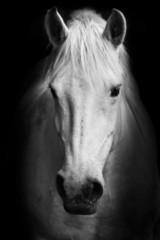 White horse's black and white; art portrait