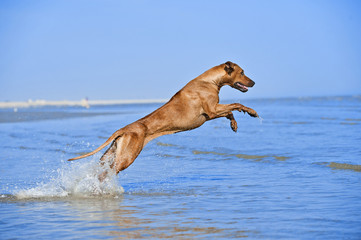 Active athletic dog running at the sea