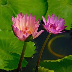 Wall Mural - waterlily