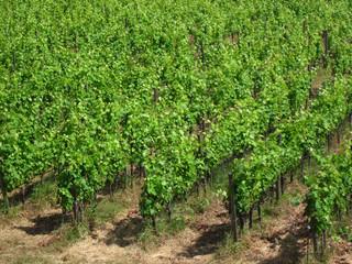 トスカーナの葡萄畑
