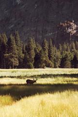 Deer in yosemite Valley