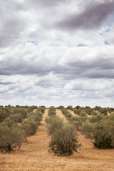 Olive trees plantation landscape