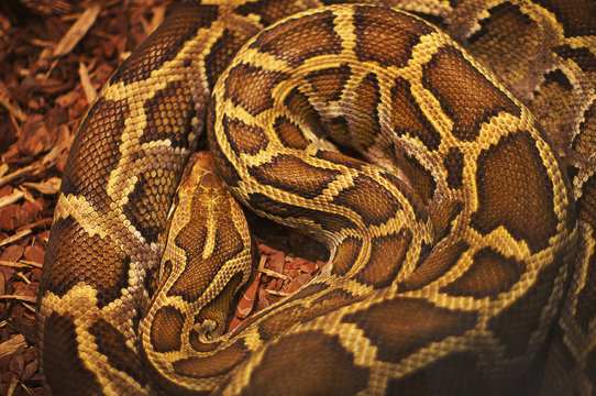 Texture image of a beautiful and deadly anaconda snake