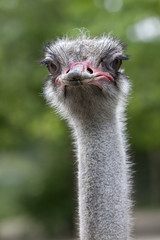 Ostrich looking into the camera