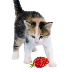 gay kitten cat stand red strawberry isolated white