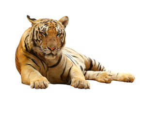 Tiger with clupping path