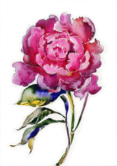 Watercolor blooming peony