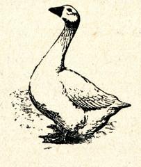Emden Goose