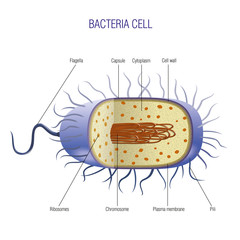 Bacteria cell scheme
