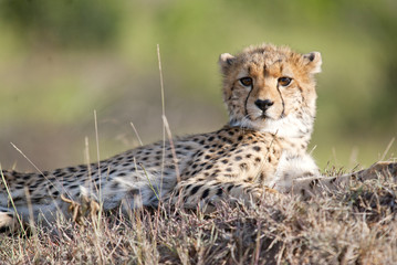 Young Cheetah looking at camera