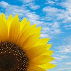 Sonnenblumen vor Himmel