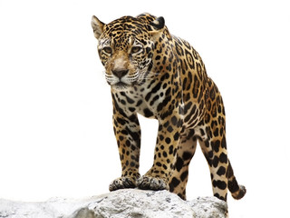 Acrylic Prints Leopard leopard on the rock