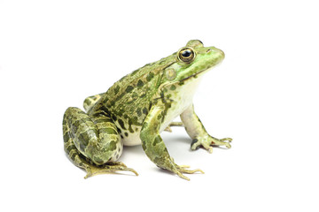 green frog looking up