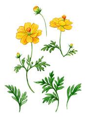 Watercolor yellow kosmeya