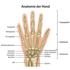 Anatomie der Hand mit Erläuterung , deutsch
