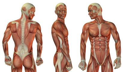 Wall Mural - Muskelaufbau Kopf und Oberkörper
