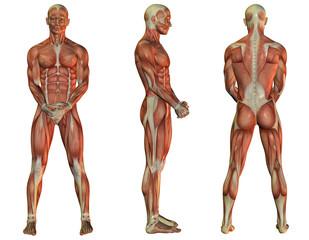 Wall Mural - Muskelaufbau stehender Mann